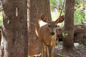 Female deer