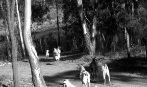 Feral Goats and Deer management in Morialta and Blackhill Conservation Parks